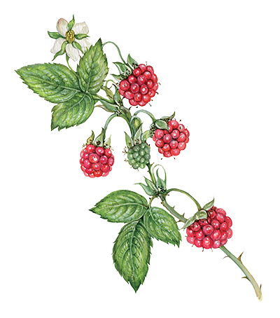 Illustration of Raspberry