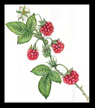 Illustration of Raspberry