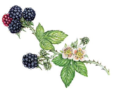 Illustration of Blackberry