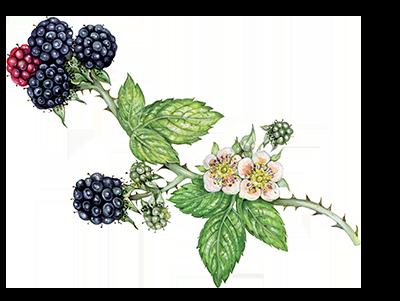 Illustration of Blackberry