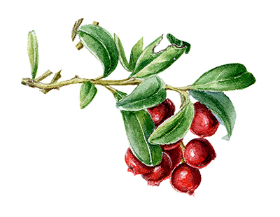 Illustration of Cranberry