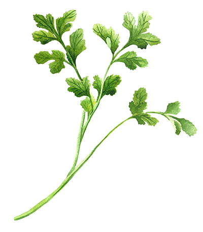 Illustration of Coriander